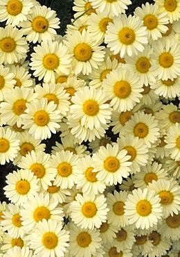 anthemis-tinctoria-e-c-buxton-anewgarden.jpg