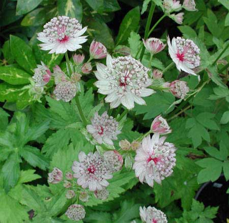 astrantia-major-anewgarden.jpg