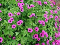 geranium-psilostemon-384.jpg