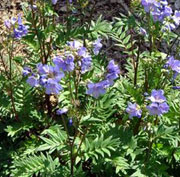 plant_polemonium___bressingham_purple___1_47-anewgarden.jpg
