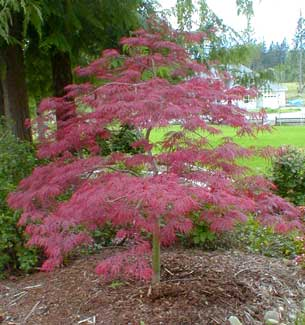 crimson-queen-japanese-maple.jpg